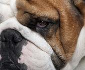 Close-up of English Bulldog, 2 years old — Stock Photo