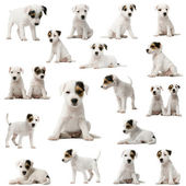 Collection of Parson Russell Terrier puppies — Stock Photo