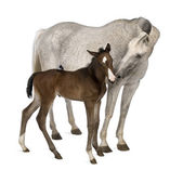 Mare and her foal, 14 years old and 20 days old — Stock Photo