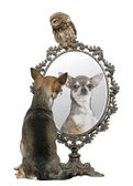 Chihuahua and a Little Owl, 50 days old, Athene noctua, in front of a white background with a mirror — Stock Photo
