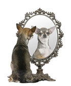 Chihuahua looking in mirror in front of white background — Stock Photo