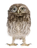 Little Owl, 50 days old, Athene noctua, standing in front of a white background — Stock Photo