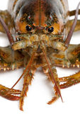 American lobster, Homarus americanus, in front of white background — Stock Photo
