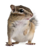 Siberian chipmunk, Euamias sibiricus, in front of white background — Stock Photo