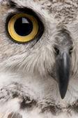 大角鸮,腹股沟 virginianus subarcticus,在白色背景前 — 图库照片