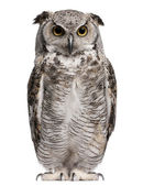 Great Horned Owl, Bubo Virginianus Subarcticus, in front of white background — Stockfoto