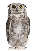 Great horned owl, bubo virginianus subarcticus, voor witte achtergrond — Stockfoto