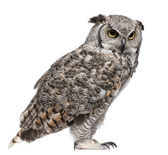 Great Horned Owl, Bubo Virginianus Subarcticus, in front of white background — Stok fotoğraf