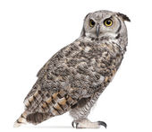 Great Horned Owl, Bubo Virginianus Subarcticus, in front of white background — 图库照片