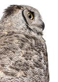 Close-up van great horned owl, bubo virginianus subarcticus, voor witte achtergrond — Stockfoto