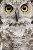 Close-up of Great Horned Owl, Bubo Virginianus Subarcticus — 图库照片