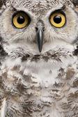 Close-up van great horned owl, bubo virginianus subarcticus — Stockfoto