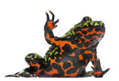 Oriental Fire-bellied Toad, Bombina orientalis, in front of white background — Stock Photo