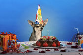 Chihuahua at table wearing birthday hat and looking at birthday cake — Stock Photo