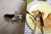 Chihuahua looking up at leftover meal on dinner table — Stock Photo