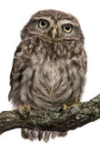 Young owl perching on branch in front of white background — Stock Photo