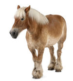 Belgian horse, Belgian Heavy Horse, Brabancon, a draft horse breed, 10 years old, standing in front of white background — Stock Photo