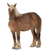 Belgian horse, Belgian Heavy Horse, Brabancon, a draft horse breed, 4 years old, standing in front of white background — Stock Photo
