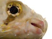 Close-up of Porcupinefish or Balloonfish, Diodon holocanthus, in front of white background — Stock Photo