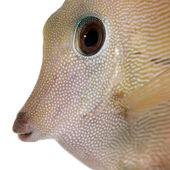 Close-up of Scopas Tang or Twotone Tang, Zebrasoma scopas, in front of white background — Stock Photo