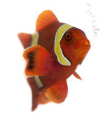 Maroon clownfish, Premnas biaculeatus, in front of white background — Stock Photo