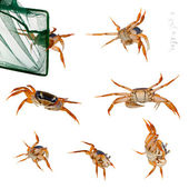 Patriot crabs, Cardisoma armatum, and net in front of white background — Stock Photo