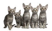 Ocicat kittens, 13 weeks old, sitting in front of white background — Stock Photo