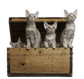 Ocicat kittens, 13 weeks old, emerging from a wooden box in front of white background — Stock Photo