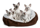 Five Siamese Kittens, 10 weeks old, sitting in cat bed in front of white background — Stock Photo