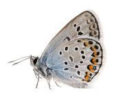 Tachas de plata azul, plebejus argus-especies de lepidópteros, también llamado mariposa hairstreak, frente fondo blanco — Foto de Stock