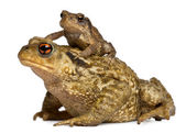 Mother Common toad and her baby, bufo bufo, in front of white background — Stock Photo