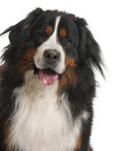 Bernese Mountain Dog (3 years old) — Stock Photo