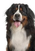 Bernese Mountain Dog (3 years old) — Stock Photo