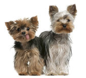 Young and old Yorkshire terriers (6 months and 12 years old) — Stock Photo