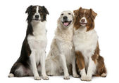 Group of three mixed-breed dogs in front of white background — ストック写真