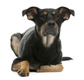 Mixed-breed dog, 12 months old, lying in front of white background — Stock Photo