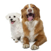 Nova scotia duck-tolling retriever, 6 years old, sitting in front of white background and Maltese 5 years old, sitting in front of white background — Stock Photo