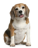 Beagle, 7 years old, sitting in front of white background — Stock Photo