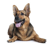 German shepherd dog, 10 years old, lying in front of white background — Stock Photo