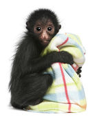 Red-faced Spider Monkey, Ateles paniscus, 3 months old, hanging on rope in front of white background — Stock Photo