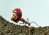 Leaf-cutter ant, Acromyrmex octospinosus, carrying eaten apple — Stock Photo