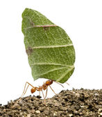 Leaf-cutter ant, Acromyrmex octospinosus, carrying leaf in front — 图库照片