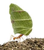 叶刀蚂蚁,acromyrmex octospinosus,携带叶在前面 — 图库照片