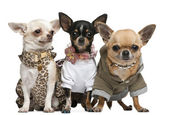 Three Chihuahuas, 2 years old, dressed up and 1 year old, dresse — Stok fotoğraf