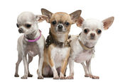 Chihuahuas, 2 years old, standing in front of white background — ストック写真