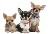 Chihuahuas, 3 years old, 2 years old, 3 months old, sitting in front of white background — Stock Photo