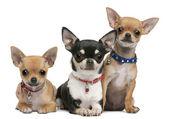 Chihuahua, 3 yaşında, 2 yaşında, 3 ay yaşlı, önünde oturan beyaz arka plan — Stok fotoğraf