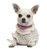 Chihuahua, 4 years old, dressed up and lying in front of white background — Stock Photo