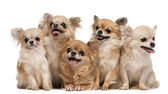 Chihuahuas, 14 years old, 11 years old, 5 years old, 3 years old — Stock Photo
