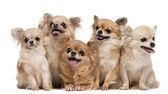 Chihuahua, 14 lat, 11 lat, 5 lat, 3 lata — Zdjęcie stockowe